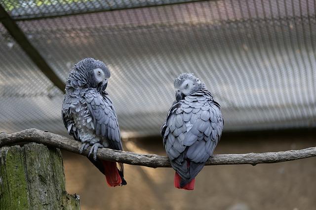 African Grey Parrot - Best Air Purifier for Bird Dander