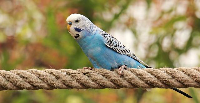Parakeet - budgie - Best Air Purifier for Bird Dander